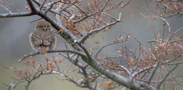 Deuxième photo ex aequo - Chevêchette australe de Christine Natta - PHOCAL