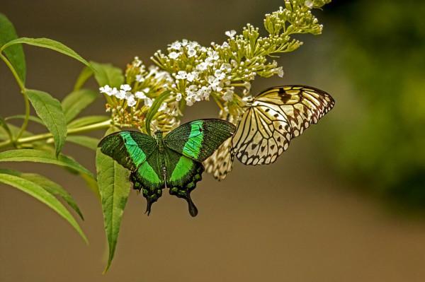 Duo de papillons de Nadine Debieve - Photo Club de La Crau