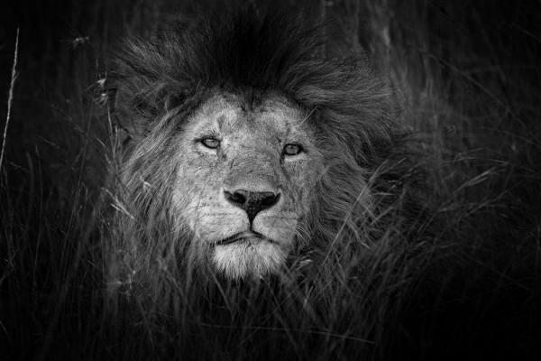 Roi Lion de Dominique Miquel - Photo Club Carry Côte Bleue