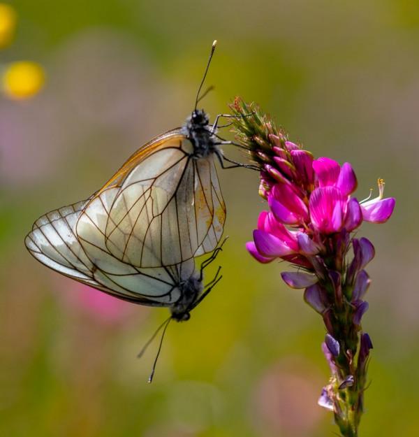 Amour de papillon de Jacques Milhaud - PHOCAL