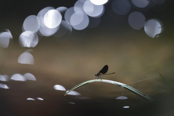 La symphonie du Calopteryx  - Anthony Gaigher - Phot'Azur Six-Fours-les-Plages